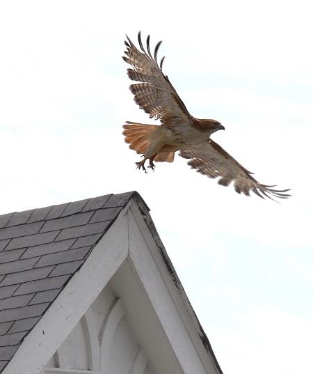 The Hawk: Urban pest control