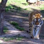 Where are the wild Tigers?  The danger of our obliviousness to incrementalism.