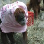 Orangutan trying on a t-shirt