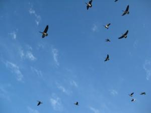 geese-overhead