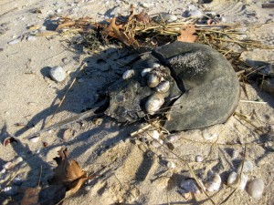horseshoe-crab-shell